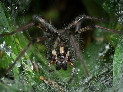 Gắp nhện làm tổ bên trong tai người đàn ông