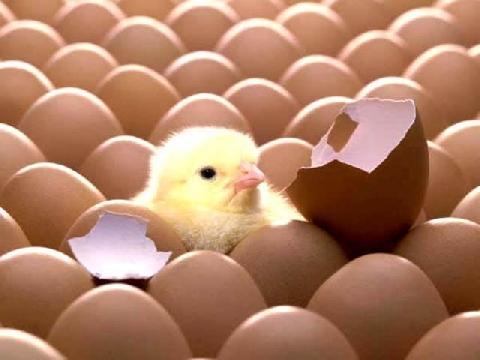 Đập vỡ quả trứng để cấy nở thành con, bạn đã biết làm chưa?