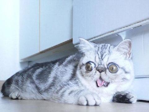 'Chú mèo bị bắt gặp ngoại tình' gây bão mạng