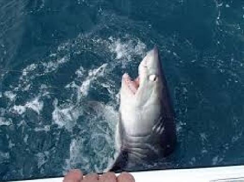 Tàn nhẫn chặt đuôi cá mập rồi ném trở lại biển