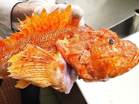 Nếm thử vị của loài cá có nọc độc nhất thế giới