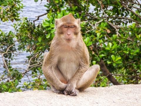 Khỉ tắm biển, phơi nắng như người ở Thái Lan