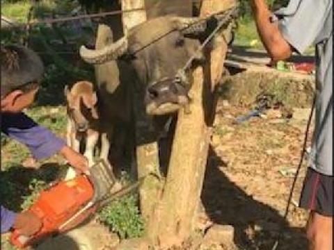Giải cứu trâu bị kẹt đầu giữa cây ở Hà Tĩnh