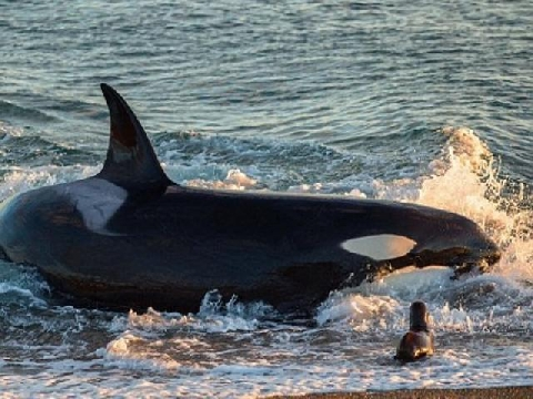 Cá voi sát thủ lao lên sát bờ nuốt gọn sư tử biển