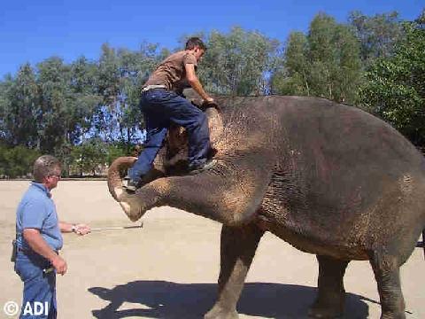Phẫn nộ cảnh voi bị đánh đập dã man đến đổ máu để làm trò tiêu khiển