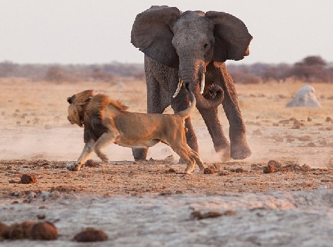 Sư tử bị đuổi trối chết khi một mình khiêu chiến voi rừng