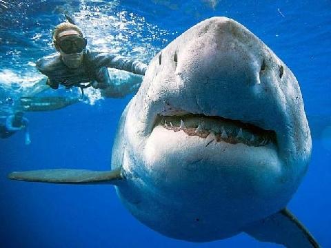Cá mập cắn gần đứt đôi đồng loại khi săn mồi
