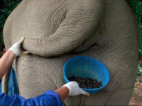Đẳng cấp uống cà phê phân voi