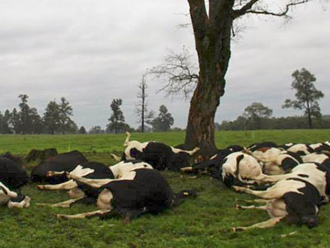 Hoảng hốt cảnh bò chết la liệt vì sét đánh