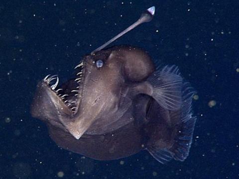 Quan hệ ký sinh giữa cá cần câu đực và bạn tình