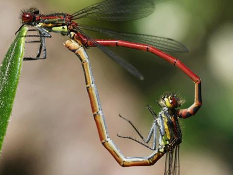 Chuồn chuồn đực – kẻ chuyên ''cưỡng bức giao phối''