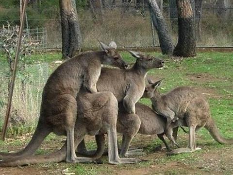 Kangaroo đực lén giao phối sau lưng đối thủ