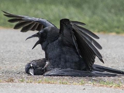 Sởn tóc gáy khi quạ giao phối với xác đồng loại