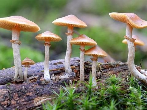 Loài nấm tạo ảo giác để tự vệ