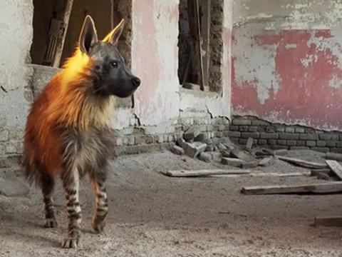 Linh cẩu hiếm nhất hành tinh ở 'thị trấn ma'