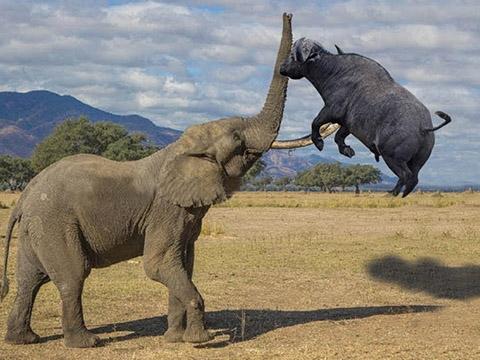 Những pha nổi loạn siêu đáng sợ của loài voi