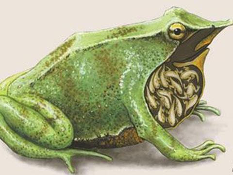 Kỳ lạ loài ếch sinh con bằng… miệng