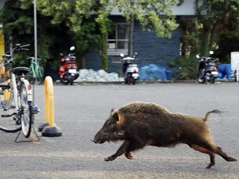 Lợn lòi 'xâm chiếm' thành phố Israel