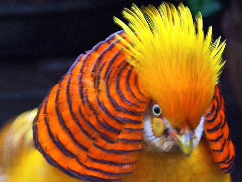Loài chim trĩ vàng đẹp ná thở