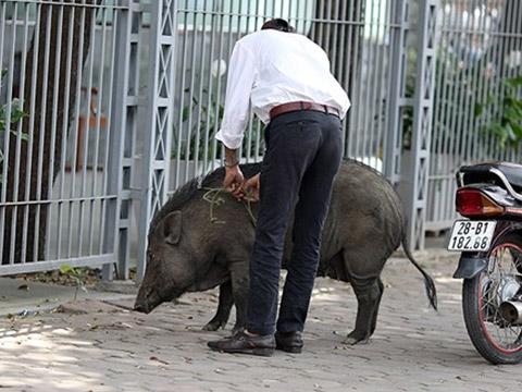 Lợn rừng nổi điên vào thành phố húc người