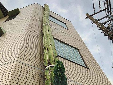 Kinh ngạc cây xương rồng siêu to khổng lồ cao bằng tòa nhà chung cư