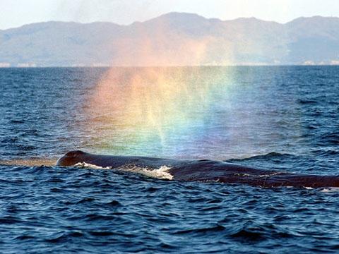 Choáng với hình ảnh cá voi tạo ra cầu vồng tuyệt đẹp