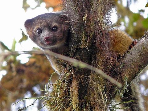 Olinguito - loài động vật có vú thuộc họ gấu mèo siêu độc lạ