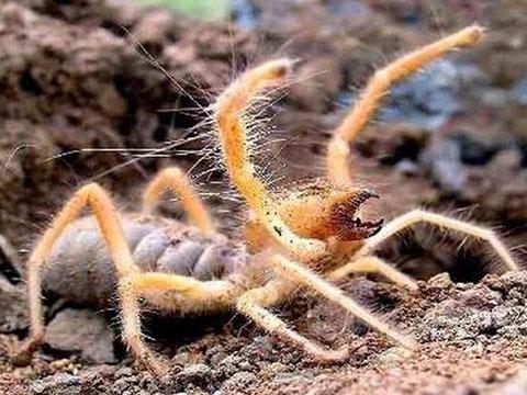 Con nhện 'quỷ quái' nguy hiểm bậc nhất thế giới