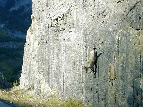 Khám phá cách dê núi leo tường như ''người nhện''