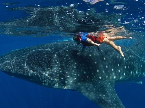 Người đàn ông liều lĩnh cưỡi trên lưng cá mập