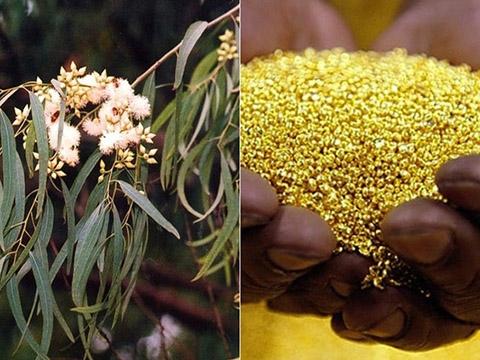 Có một loài cây mọc ra vàng và nó có ở Việt Nam