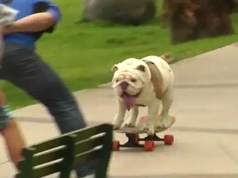 Chú chó Bull trượt ván điêu luyện