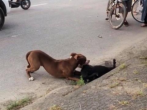 Kinh hoàng cảnh chó pitbull hung dữ cắn chết dê trên đường