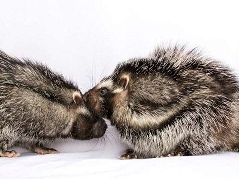 Kinh hoàng chuột to bằng con thỏ có bộ lông kịch độc