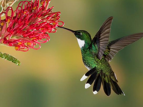 Loài chim có kỹ năng 'vừa bay vừa ăn' xuất sắc