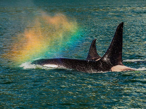 Cá voi và khả năng tạo ra cầu vồng có một không hai